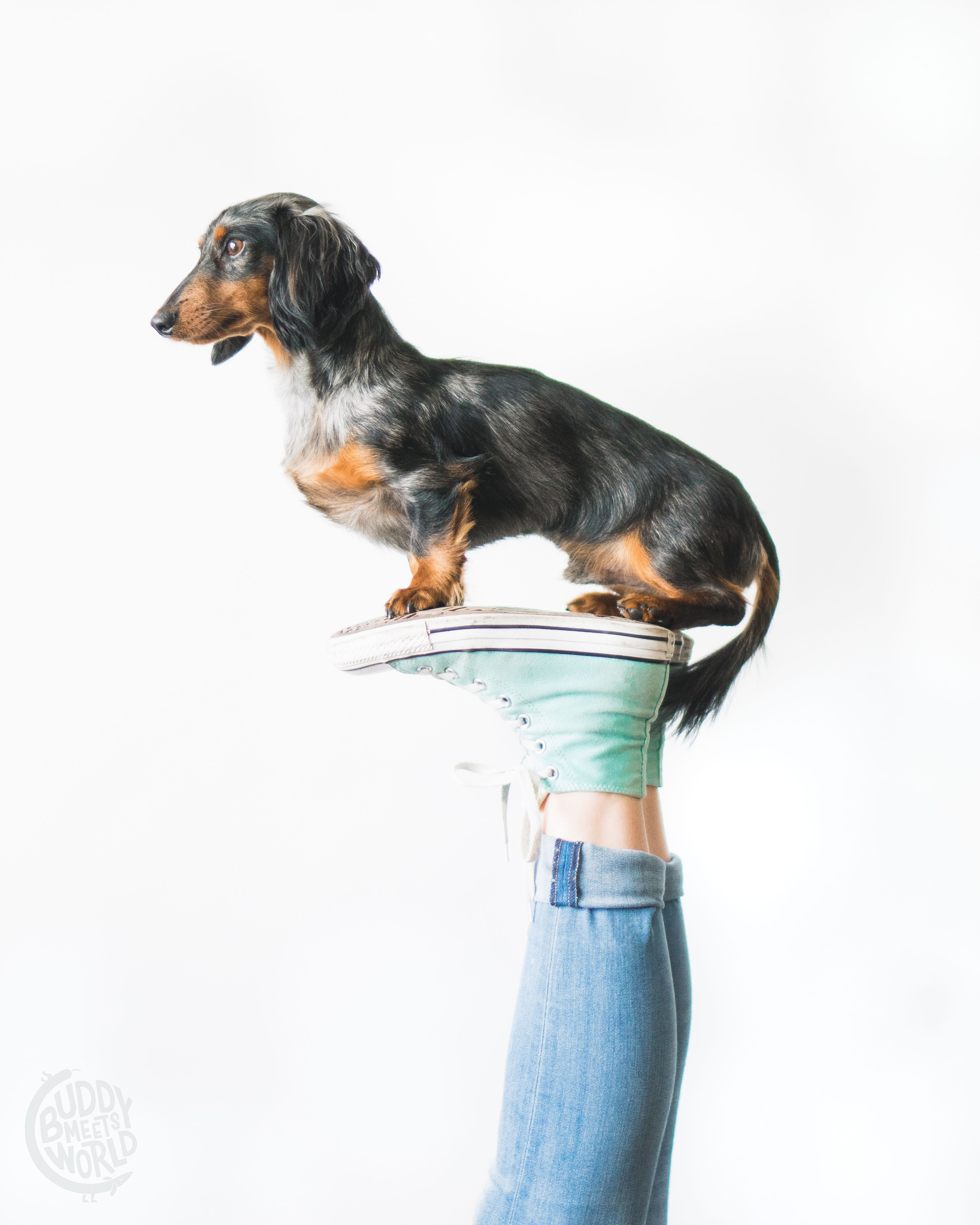 Ig Buddy Meets World Miniature Dachshund Dappled Dachshunds