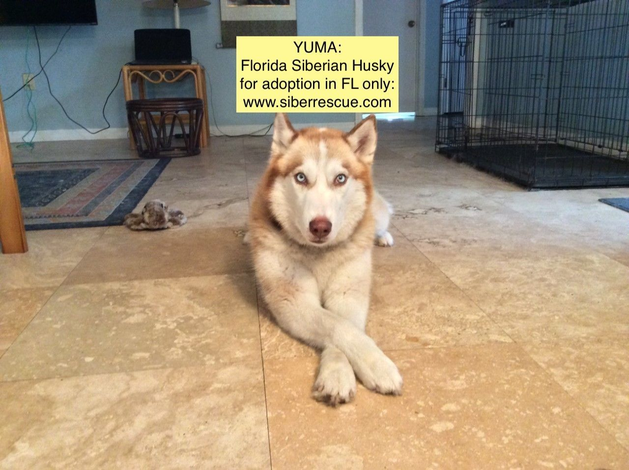 Florida Siberian Husky Rescue Has Beautiful Dogs For