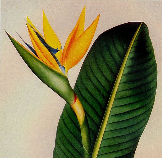 Bird Of Paradise Strelitzia Reginae Prestele Vintage Poster Etsy Botanical Poster Botanical Illustration Birds Of Paradise Flower