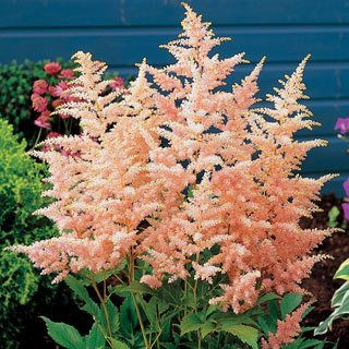 Astilbe Peach Blossom Is Quite Adaptable To Varying Garden Conditions And Is Nearly Maintenance Free Love The Peach Color With Images Plants Shade Plants Flower Garden