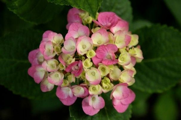 "The Mid-South Hydrangea Society presents ""Postcards from England."""