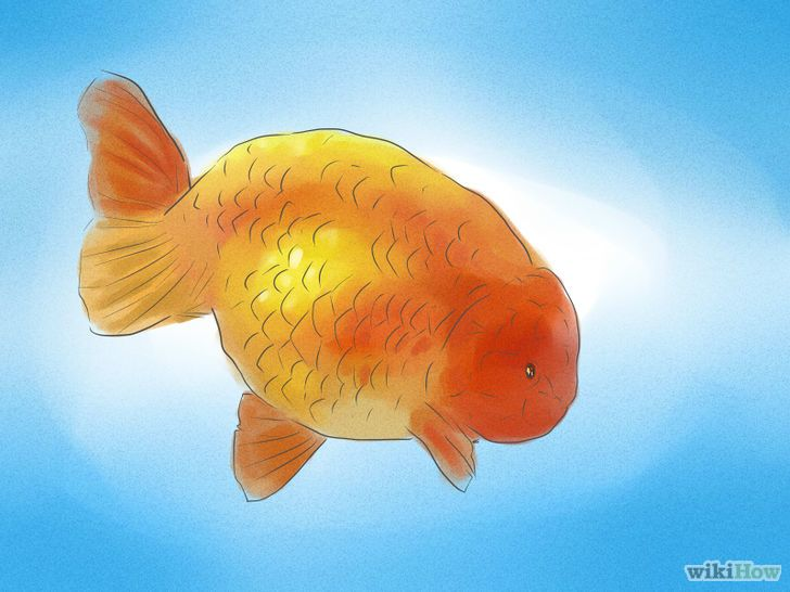 How To Tell If Your Goldfish Is A Male Or Female Goldfish Goldfish Breeding Fish Pet