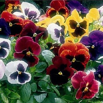 Viola Tricolor Pansy Seeds Flower Seed Mix Pansies Flowers Flower Seeds Pansies