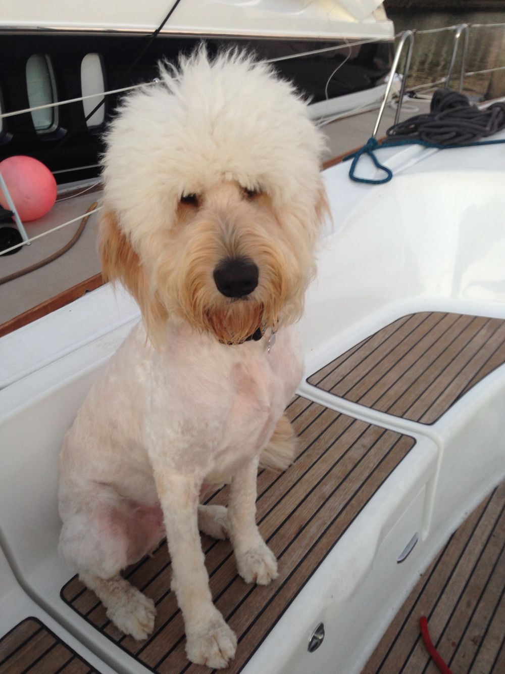 Worst Goldendoodle Haircut Ever Dont Let Your Groomer Do This