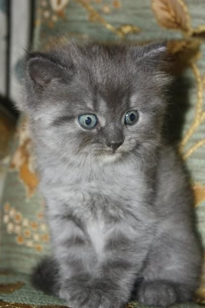 Smoke Cat Ash Grey And Smoke Persian Kitten For Sale Cats For Sale In Pakistan Persian Kittens For Sale Animals Funny Cats Persian Kittens