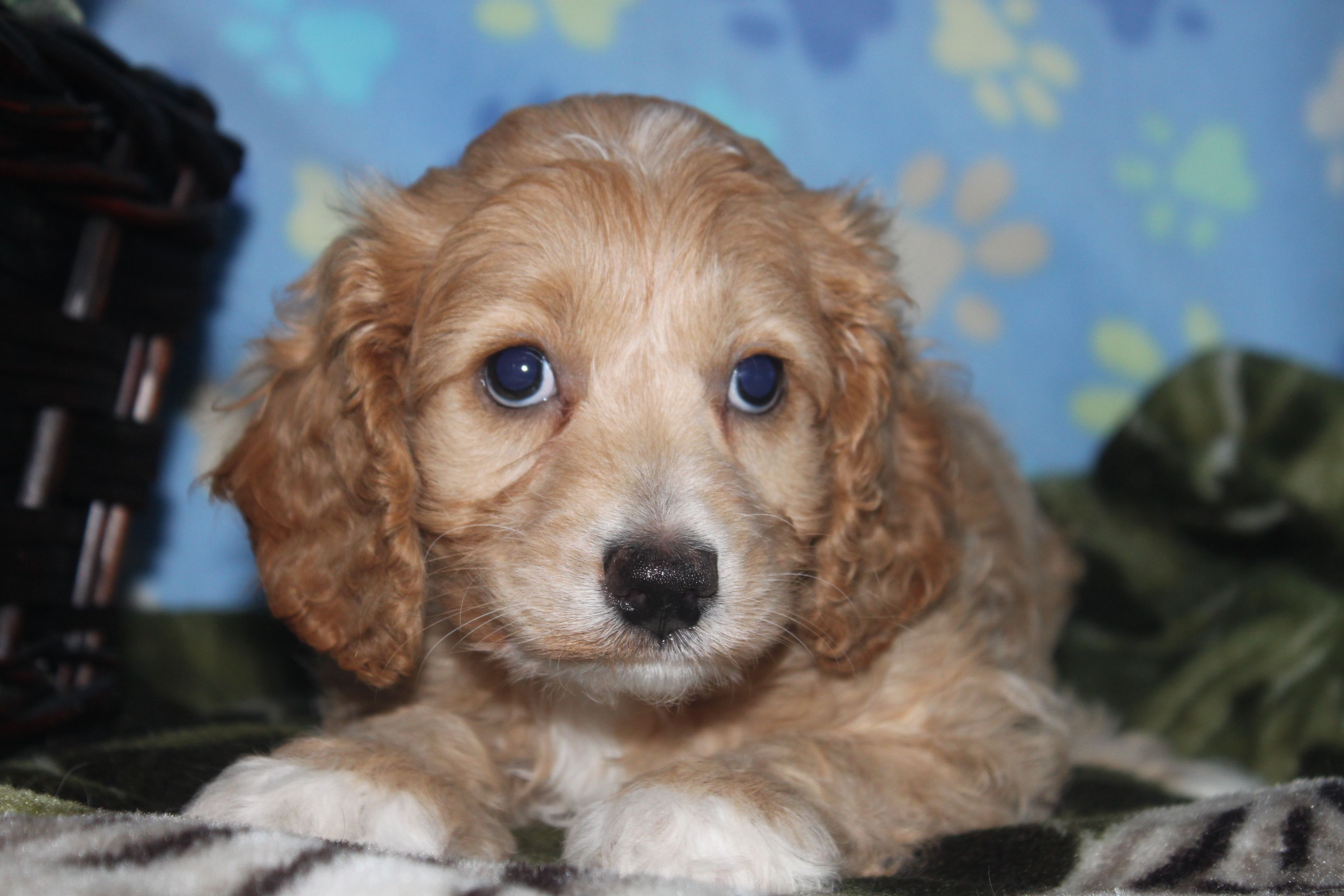 Cockapoo Puppies Here Is A Really Nice Cockapoo Puppy For Sale At Http Www Network34 Com Dogsbreed Cocka Cockapoo Puppies For Sale Cockapoo Puppies Puppies