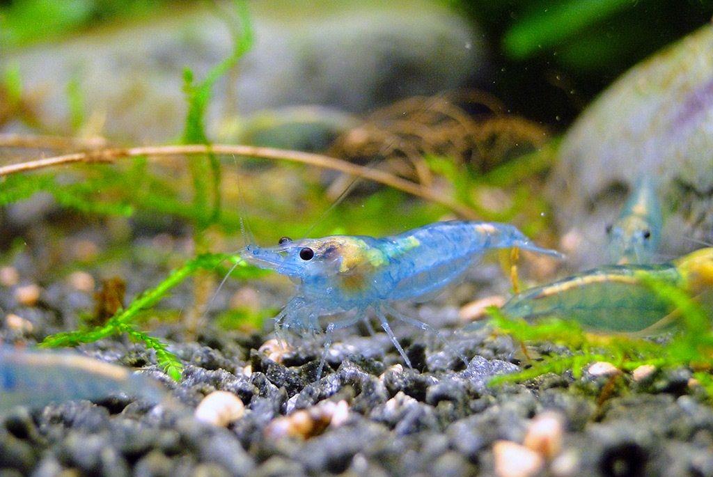 Neocaridina Heteropoda Var Blue Jelly Shrimp Shrimp Aquascaping Plants Aquascape