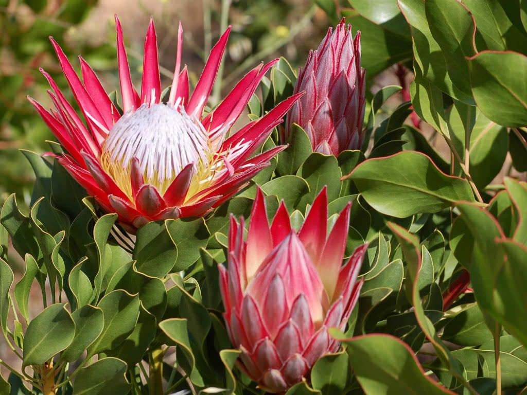 Most Proteas Prefer Soils That Are Well Drained And Acidic And We Suggest To Avoid Heavy Clay Soils As They Need Protea Flower Flower Garden Care Protea Plant