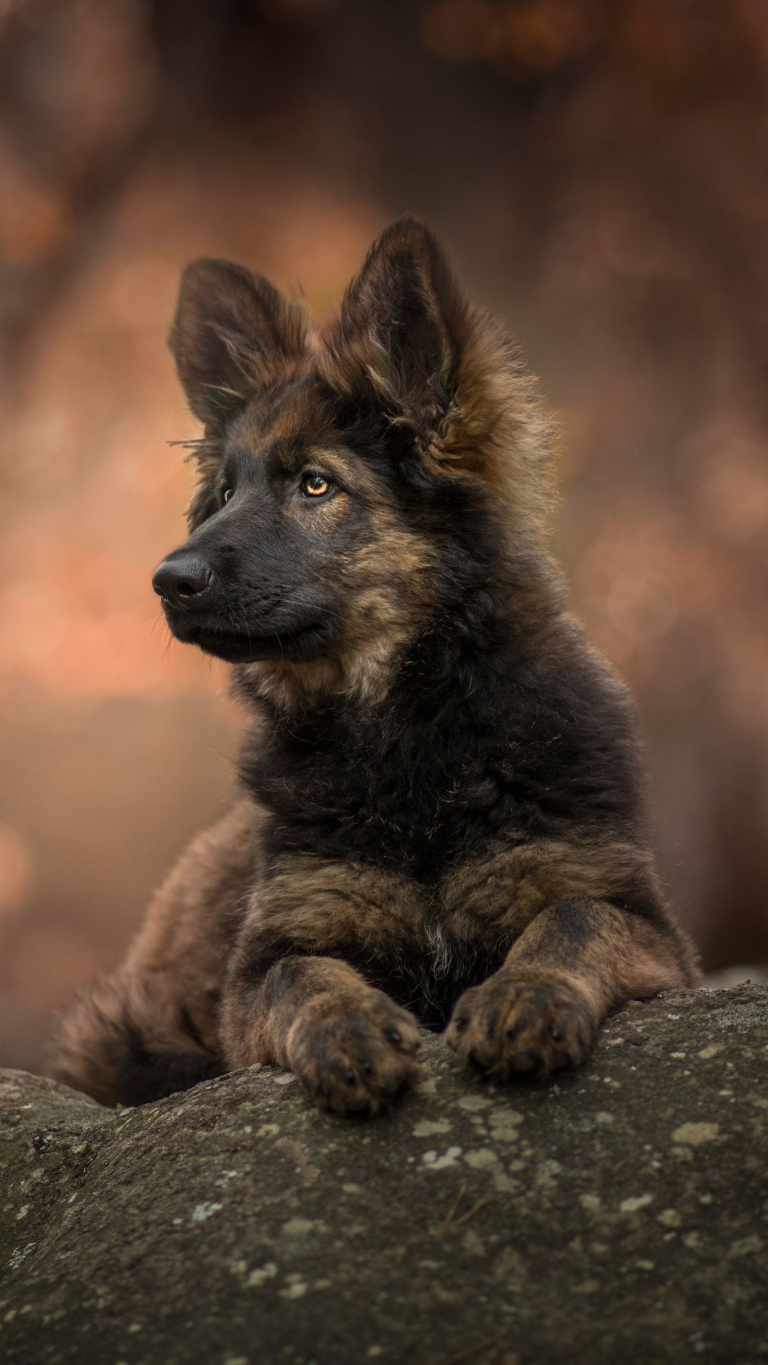Animal German Shepherd 1080x1920 Mobile Wallpaper Shepherd