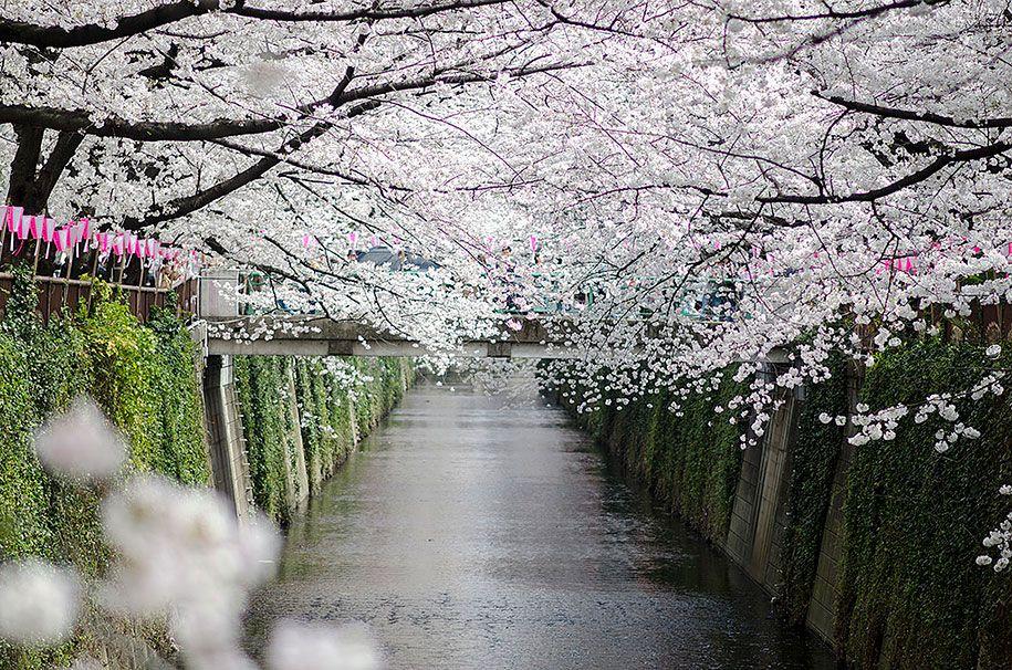 Japanese Cherry Blossoms Sakura1 Flores De Cerezo Japonesas Flor De Cerezo Capullo
