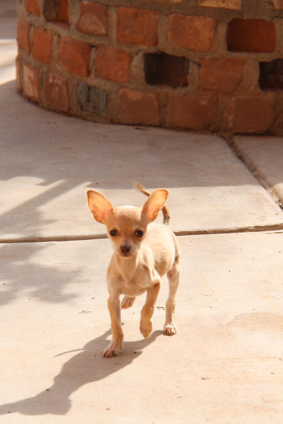 Chihuahua Dog For Adoption In Phoenix Az Adn 818050 On