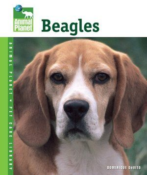 Beagles  beside the constant working nose Beagles come with wonderful ears. They move and are expressive as part of their expressions.
