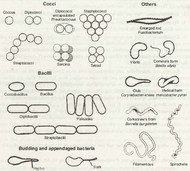 Shapes Of Bacteria Shapes of bacterial cells