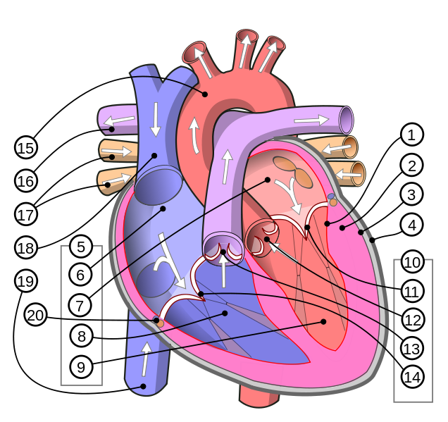 human heart diagram | human_heart_diagram | anatomy & physiology, Muscles