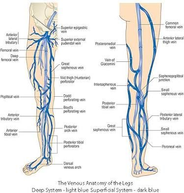 Image result for lower extremity venous anatomy | sm | Pinterest ...