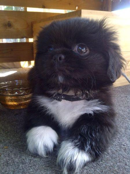 The Internet S Animals Shih Tzu Puppy Cute Animals Cute Dogs