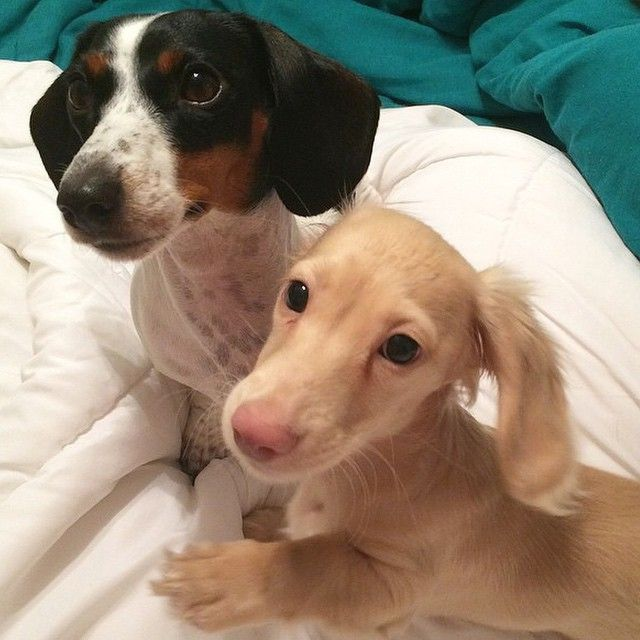English Cream Long Hair Miniature Dachshund If They Re Born With