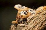 cute-tiger-cub