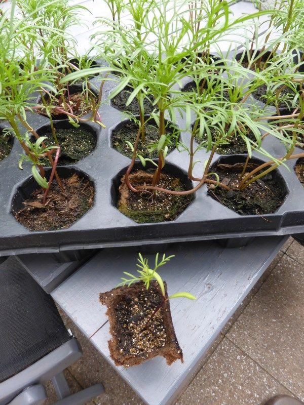 tomaten aus samen selber ziehen anleitung pflanzenanzucht pinterest garten tomaten und. Black Bedroom Furniture Sets. Home Design Ideas