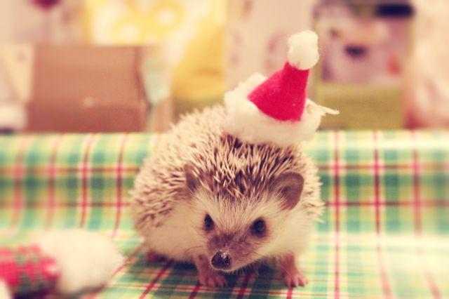 Merry Christmas Cute Hedgehog Hedgehog Christmas Hedgehog