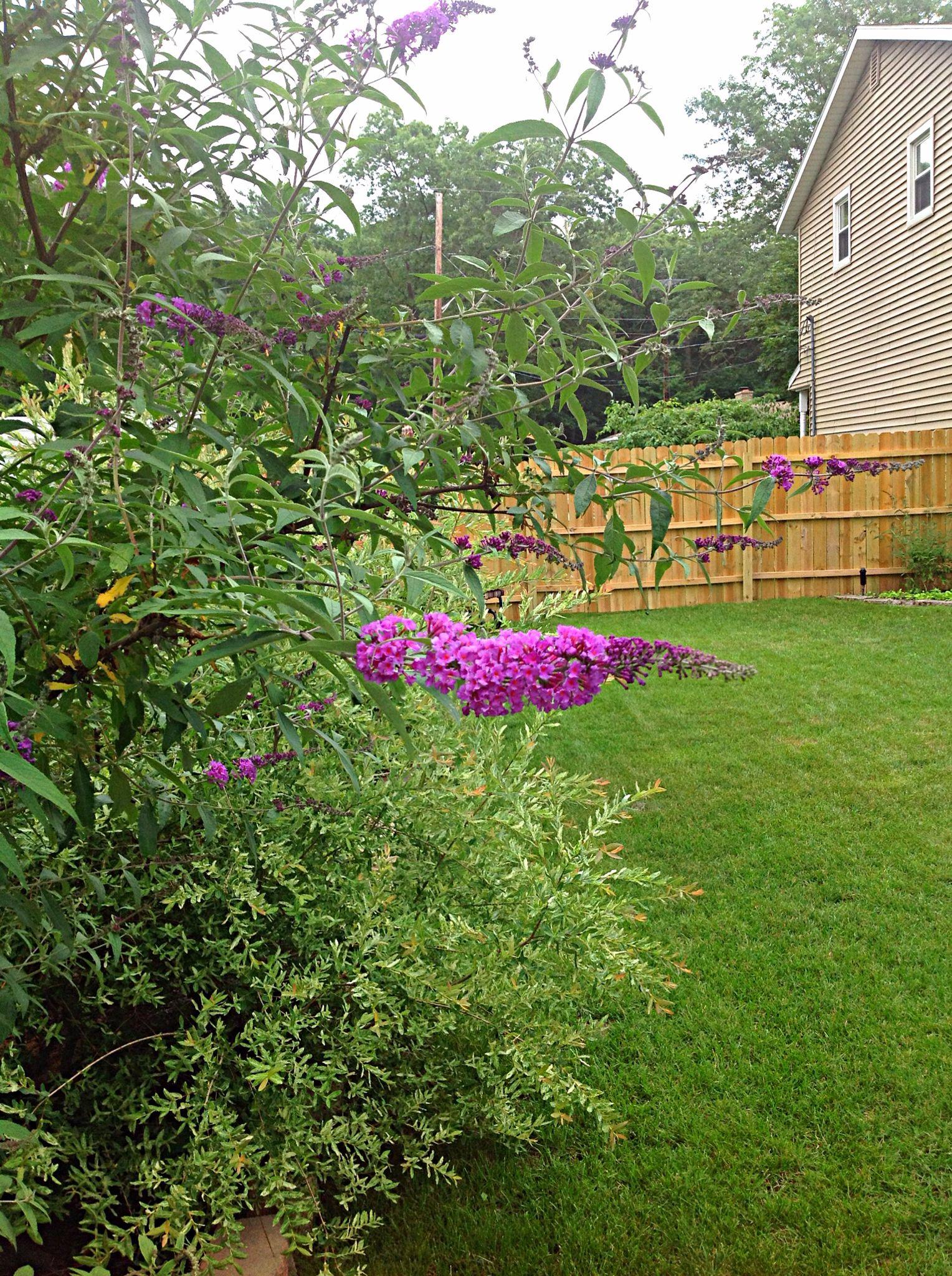 Butterfly bush in my garden