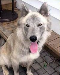 Lost Light Grey White 2 Year Old Neutered Male Siberian Husky