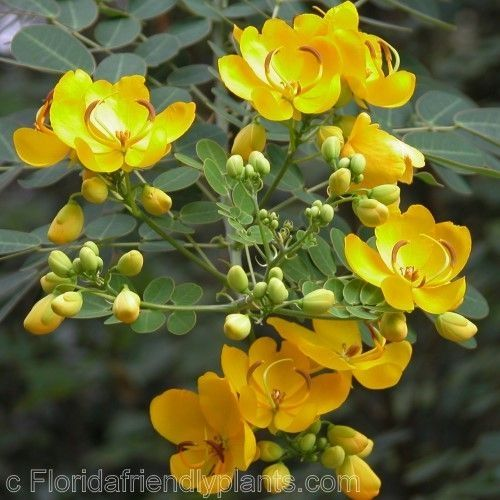 Yellow flowering trees florida florida flowering trees yellow flowering trees florida florida flowering trees identification senna bicapsularis mightylinksfo