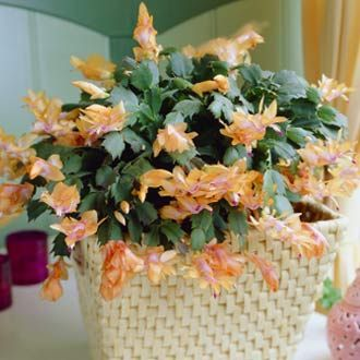"Tangerine Christmas Cactus - Here's a bold new color in Christmas Cactus featuring a bright tangerine flower with a streaking red stamen.      Includes pot     6"" - 8"" tops     Bloom lasts all winter when kept indoors     In late Spring, container can be moved outdoors     Annual"