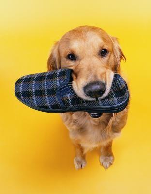 dog chew shoe