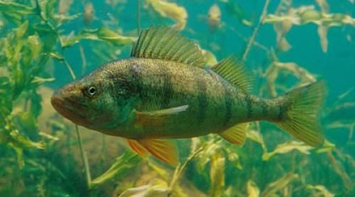 The yellow perch perca flavescens commonly referred to for Yellow perch fishing secrets