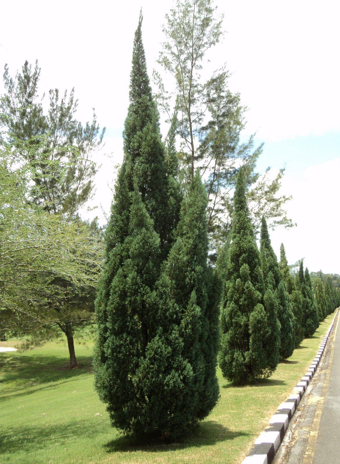 Juniperus Chinensis Chinese Juniper List 1 77 Trees