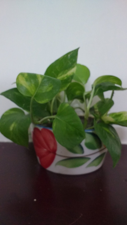 Money plants in ceramic pot money plant indoor plants