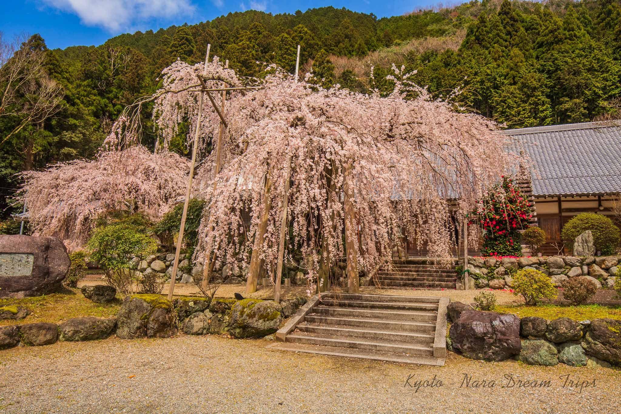 Sakura Season In Kyoto And Nara Nara Japan Yoshino Cherry Tree Fantasy Inspiration