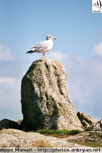 La mouette rieuse, et fière, qui veille sur l'île d'Ouessant ! Bretagne