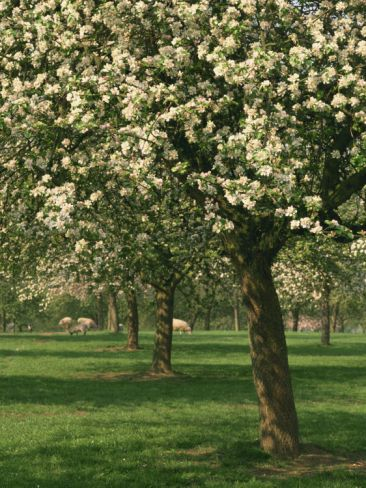 Cider Apple Trees In Blossom In Spring In An Orchard In Herefordshire England United Kingdom Photographic Print Michael Busselle Art Com In 2021 Apple Tree Landscape Photography Herefordshire