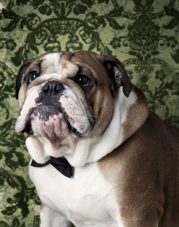 The Esteemed Bulldog Awaits Your Presence Bulldog Smiling Dogs Super Cute Animals