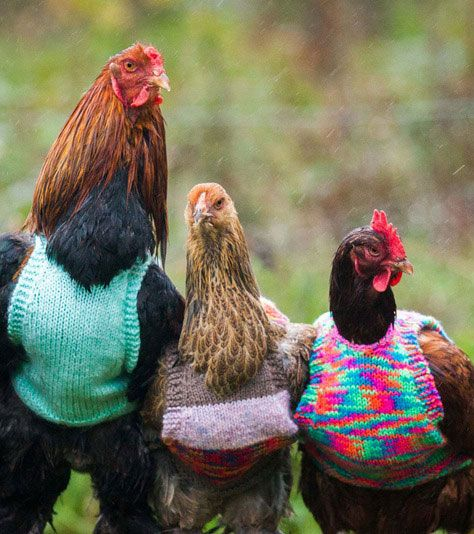 A woman is knitting tiny wool jumpers to keep her chickens