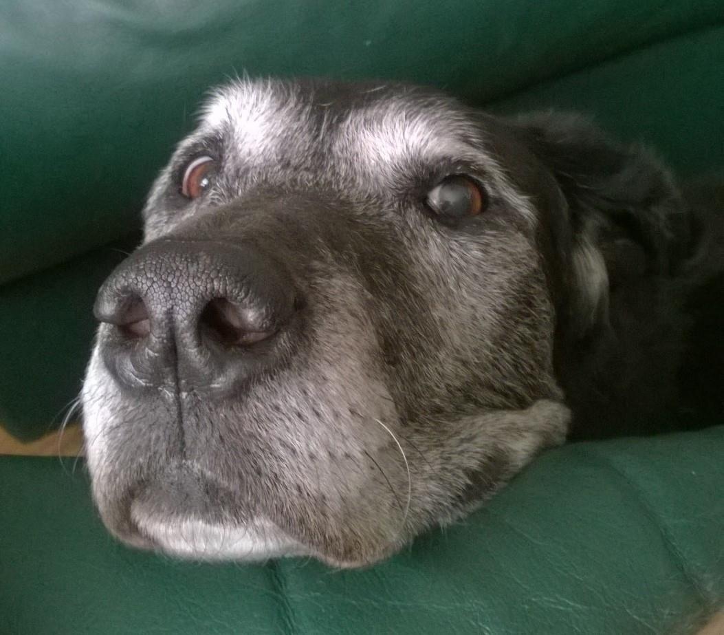 Chesador dog for adoption in incline village nv adn
