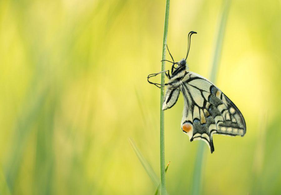 Papilio machaon by Thijs  van den Burg on 500px