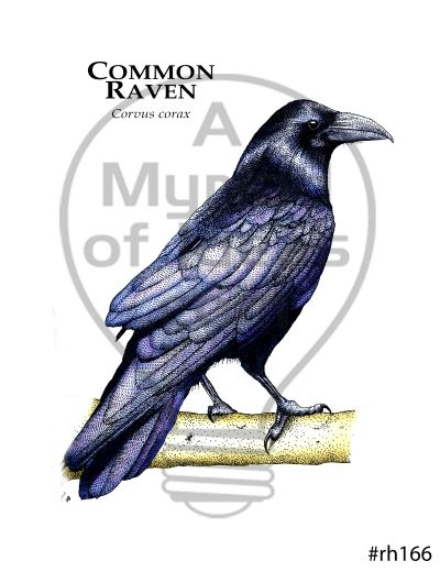 8df1098d Common Raven Tee in 2019   Animal T-shirts   Raven, Tees, Animals