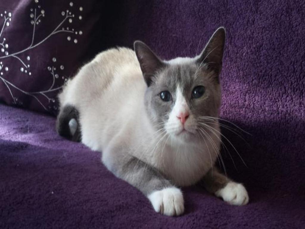 The Rare Snowshoe Cat & Its Unique Characteristics