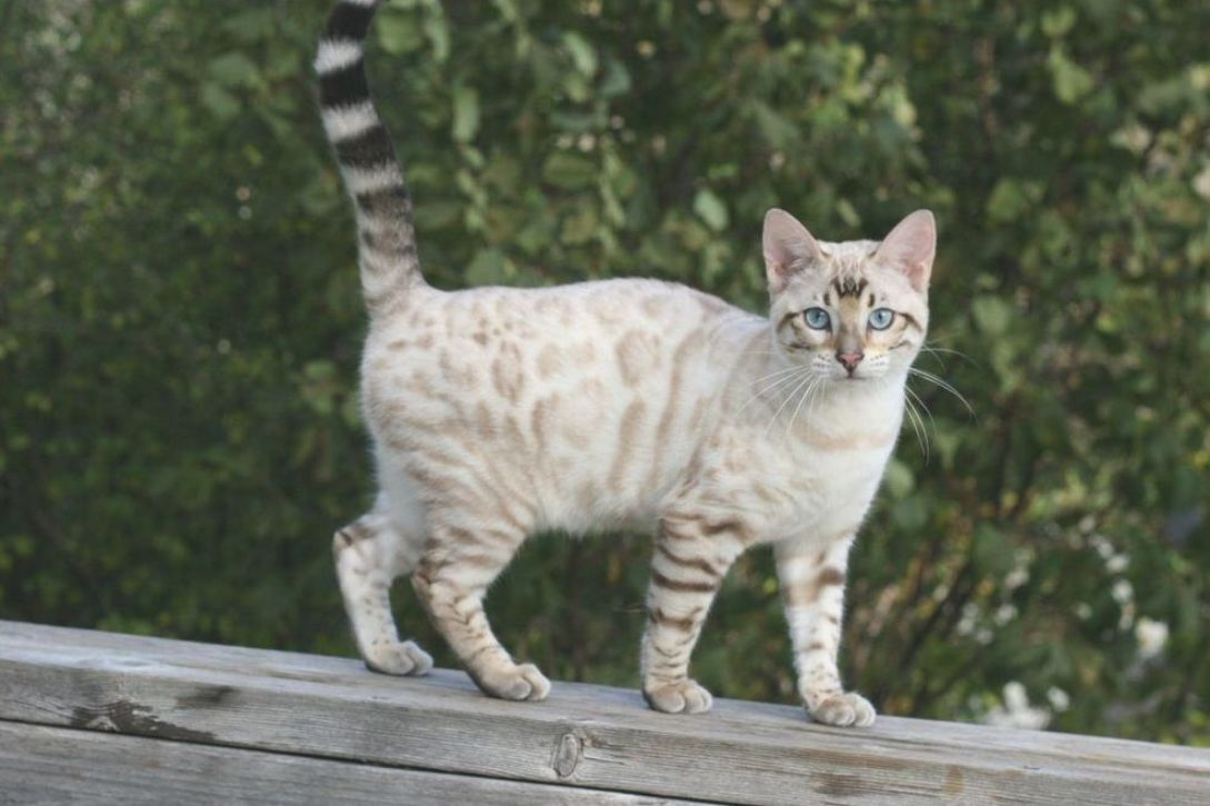 Bengal Kittens Erelae Is A Seal Lynx Point Spotted Bengal She Is A Blue Eyed Bengal With A White Background And Ligh In 2020 Bengal Kitten Bengal Cat White Bengal Cat