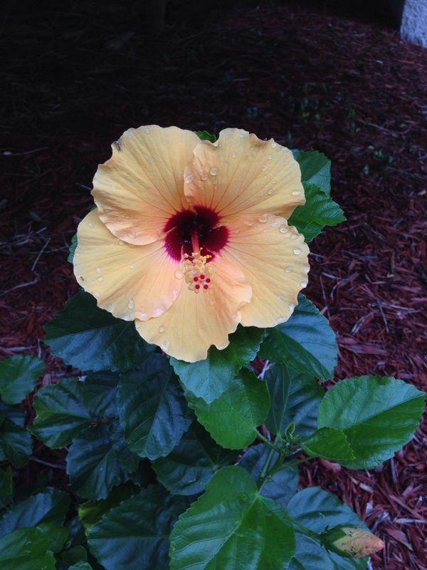 Free Plant Identification | Flowers, Hibiscus, Plants