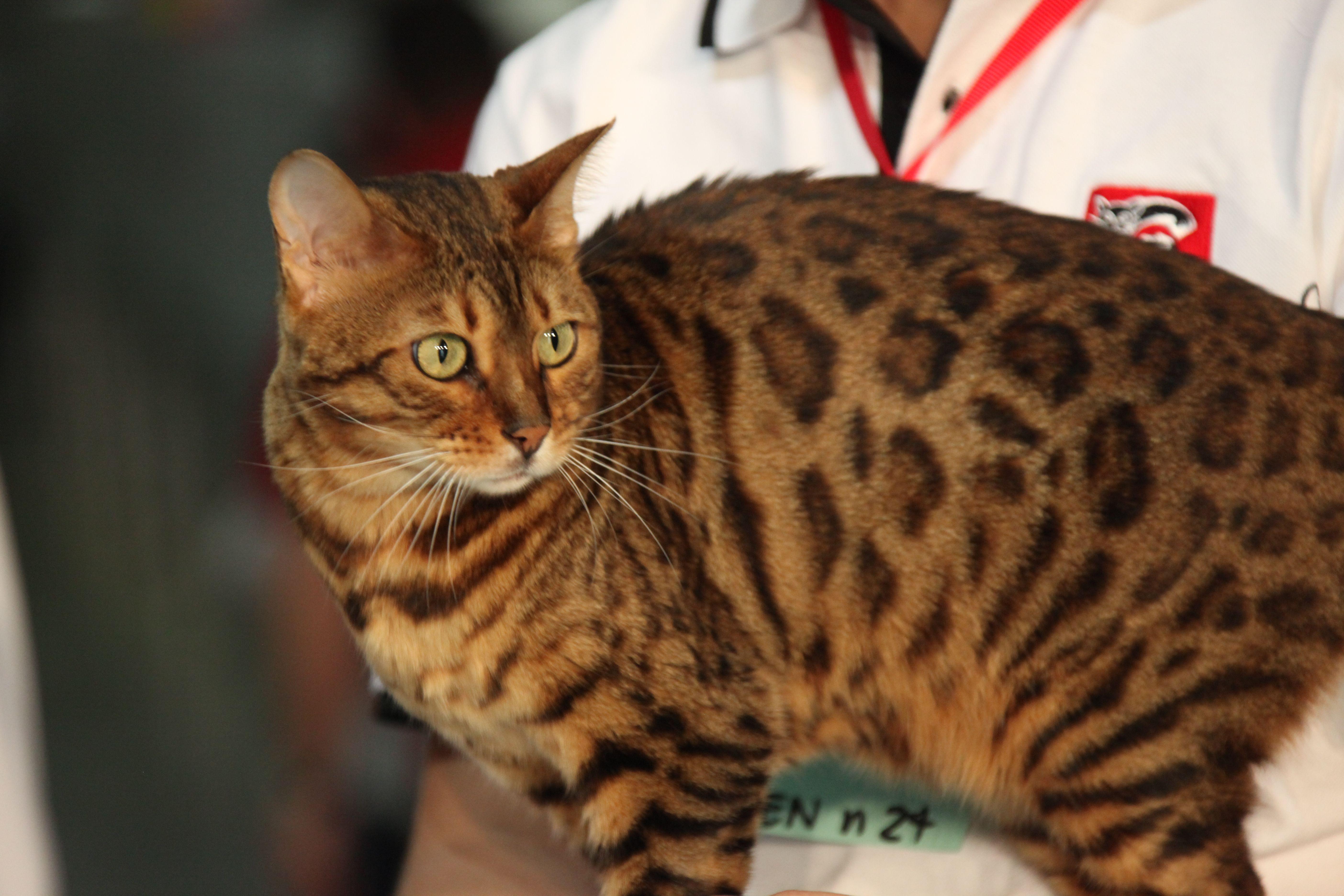 Bengal_Cat_-_Fifé_Worldshow_2009 Rosettenmuster [Bearbeiten]