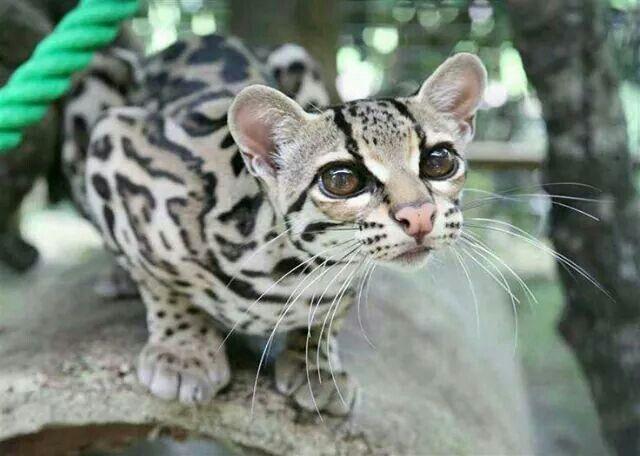 Le margay appellé aussi chat-tigre est un petit félin que