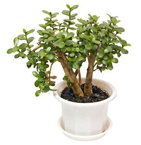 Crassula l arbre de jade plantes pinterest for Entretien bonsai interieur