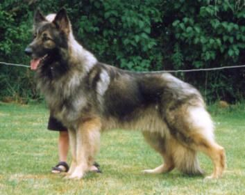 Lobo Shiloh Shepherd Puppies Breeders Shepherds For Sale
