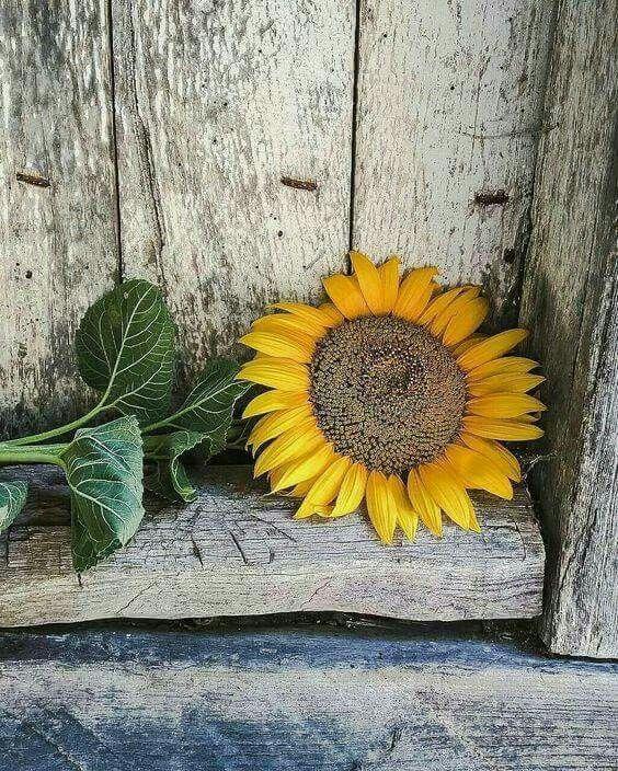 Pin by Dawn Russell on Flowers Sunflower art, Sunflower