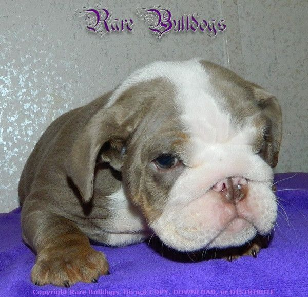 Akc English Bulldog Girl Lilac Trindle Quad Mini 32 000 Click