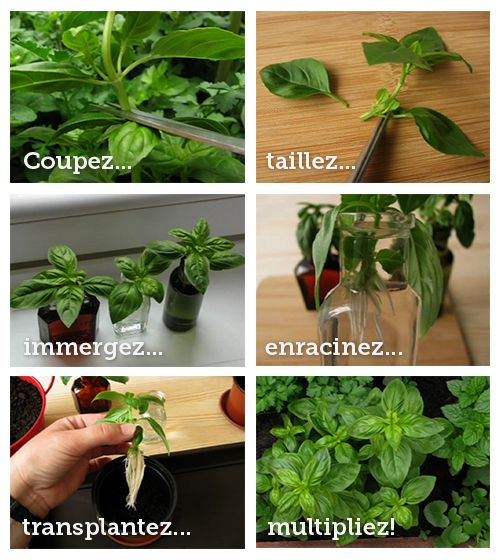 comment multiplier son plant de basilic du supermarch jardin pinterest basilic jardinage. Black Bedroom Furniture Sets. Home Design Ideas